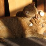 Ginger Cats Grooming Eachother