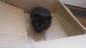 RSPCA Kitten - Melody - Box