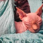 Sleeping and Snoring Sphynx