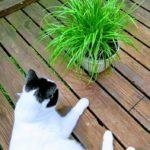 Nusse Cat Grass